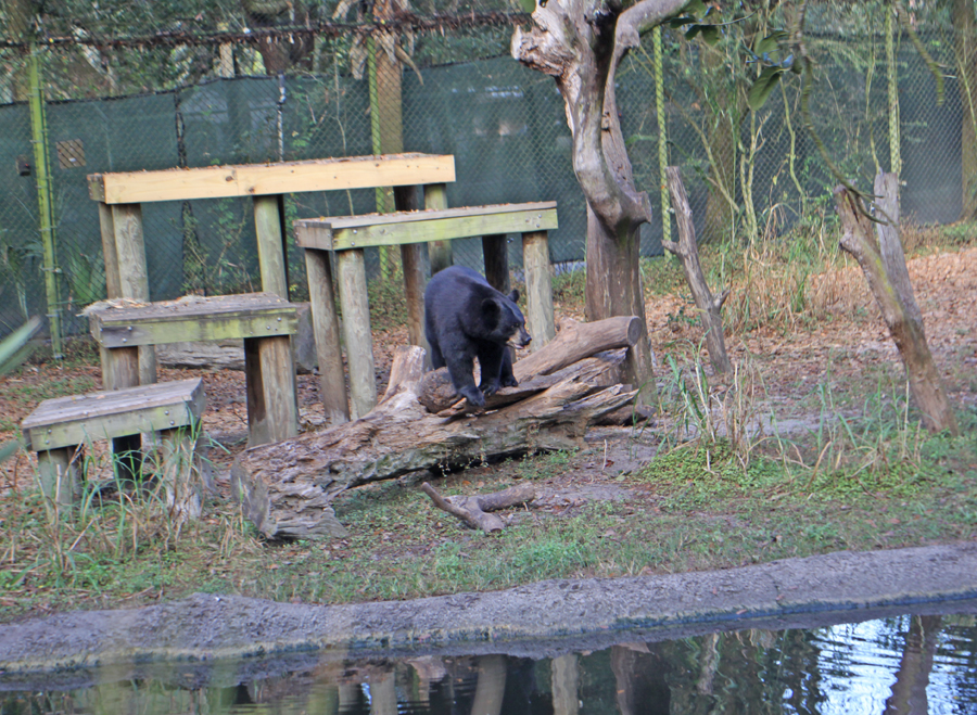 female bear at tampa zoo on log in front of her perches